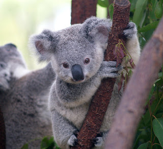 Un pequeño koala sobre la rama de un árbol