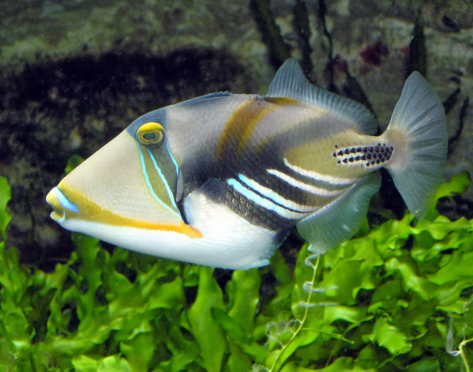 Careful with the picasso trigger fish exotic freshwater for Aggressive saltwater fish