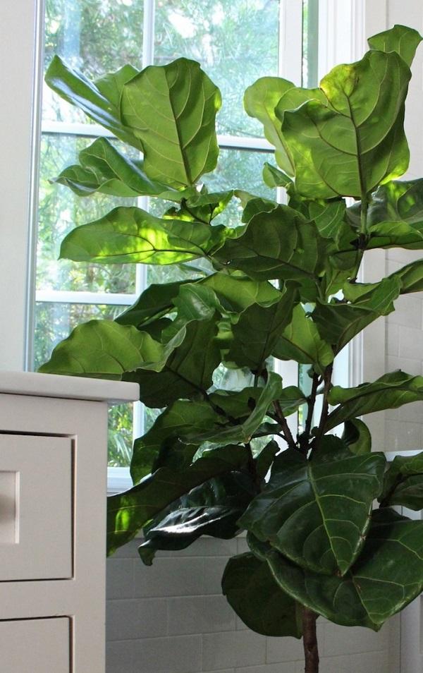 Express o summer home fiddle leaf fig tree for Indoor gardening diana yakeley