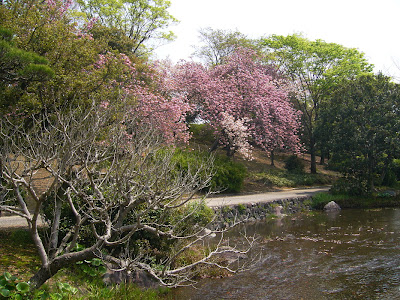 万博記念公園・日本庭園 サトザクラ