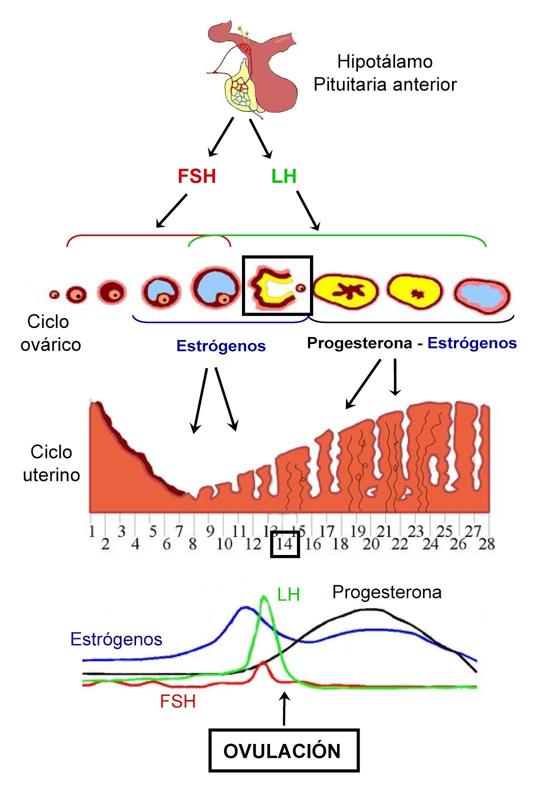Etapas, desarrollo del endometrio y folicular y secreción hormonas durante el ciclo menstrual