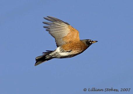 american robin bird flying - photo #21