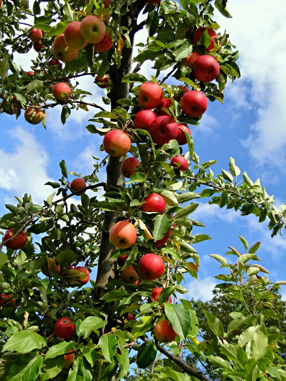 New England Fall Events - Apple Picking Holliston MA