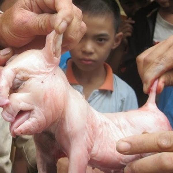 Đổ xô đi xem lợn đẻ ra 'voi' ở Đắk Lắk