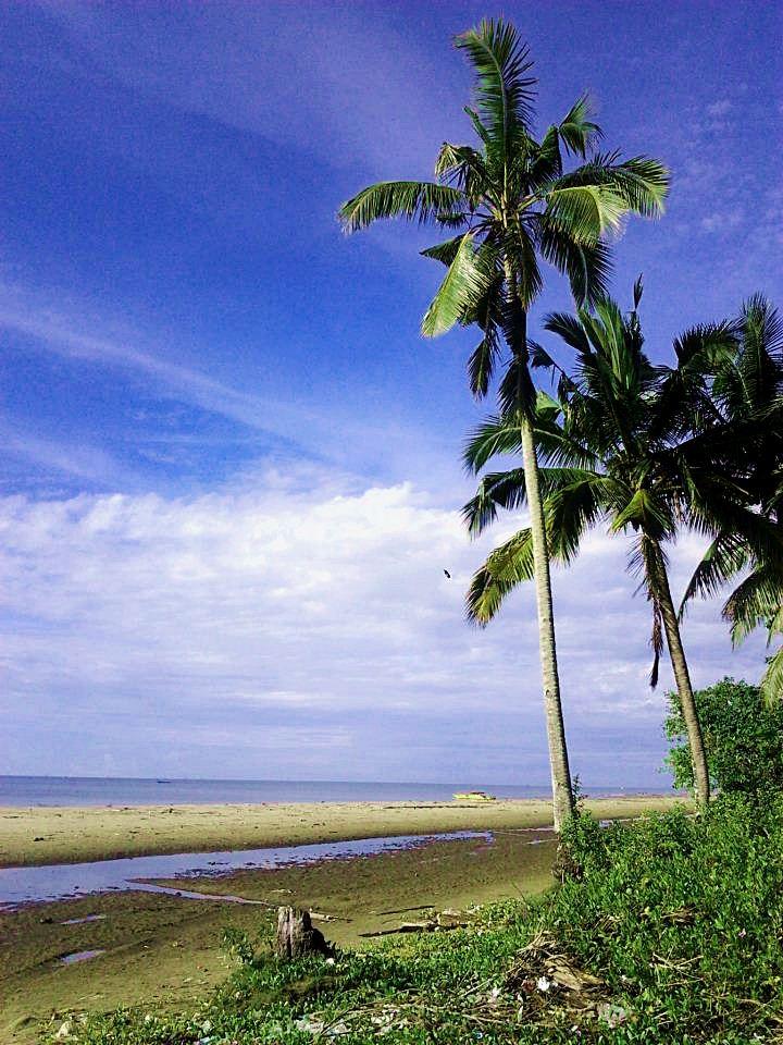 pohon kelapa di pinggir pantai pagatan kalimantan selatan