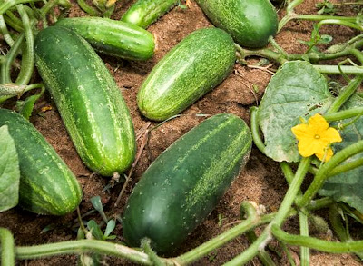 Large-scale deep re-sequencing reveals cucumber's evolutionary enigma