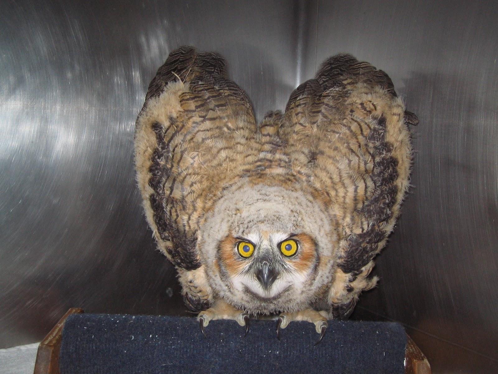 Young great horned owl young great horned owl
