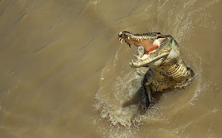Alligator HD Wallpaper