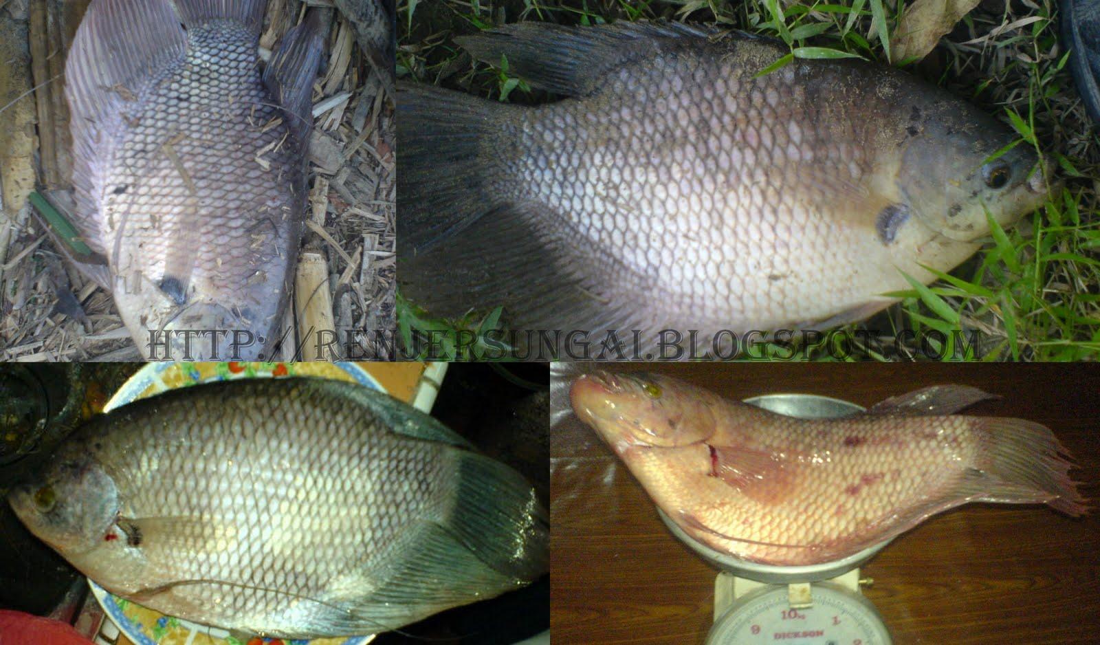 Info tentang ikan kaloi