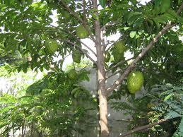Sejumlah manfaat tanaman sirsak baik buah maupun daun untuk kesehatan dan kebugaran tubuh