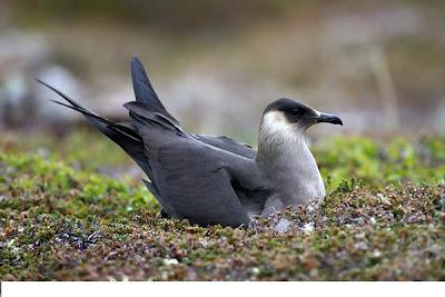 Arctic Skua Bird
