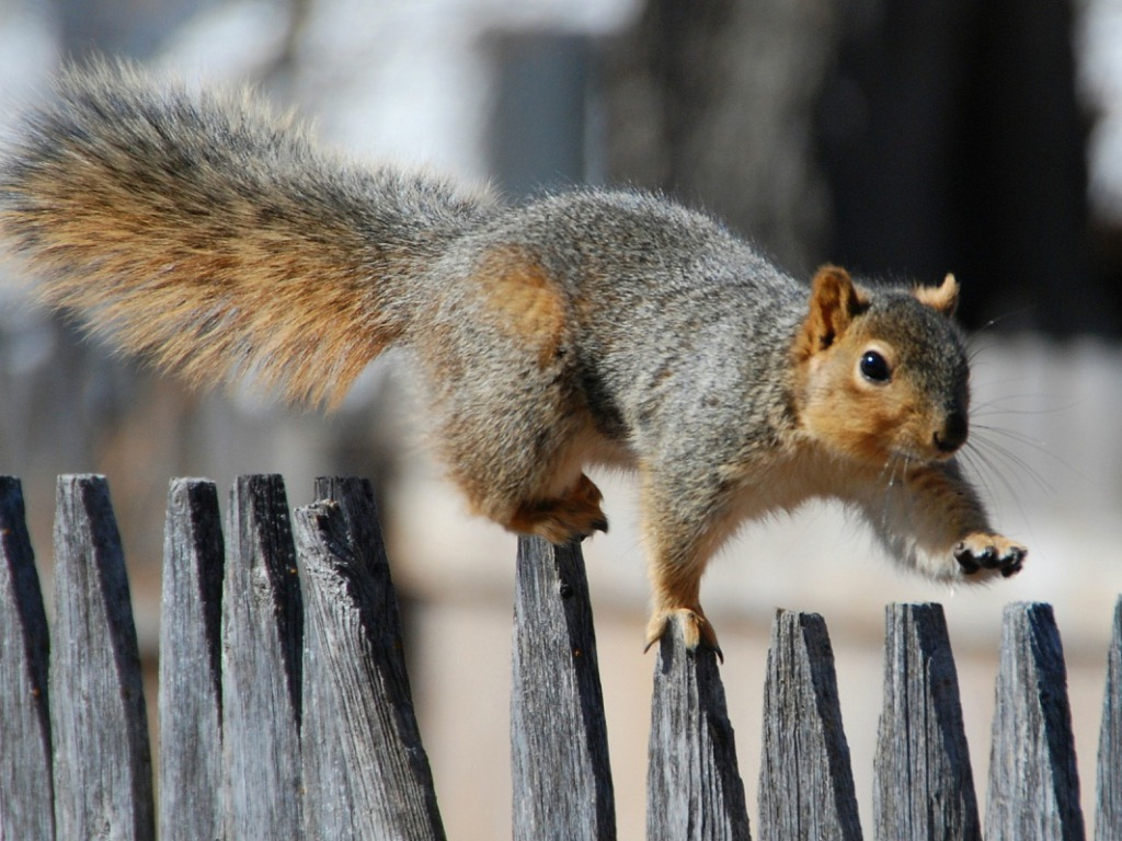 squirrel wallpaper - photo #1