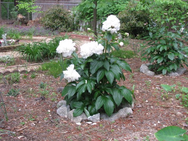 In the Garden: Peony Assistance
