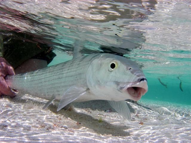 Beautiful Fastest Fish In The World Bonefish