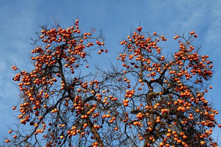 Renato photoblog l 39 albero delle sette virt for Albero di cachi