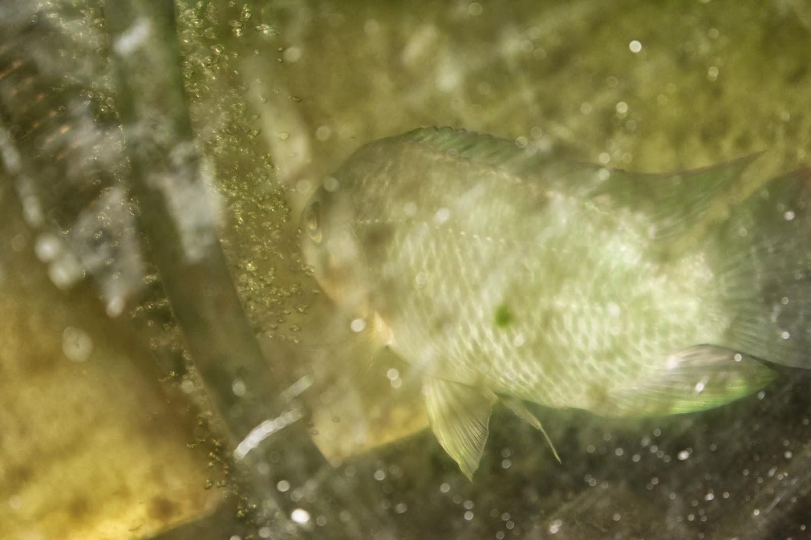 Simpson eco farms aquaponics fish crayfish snails for Tilapia aquaponics