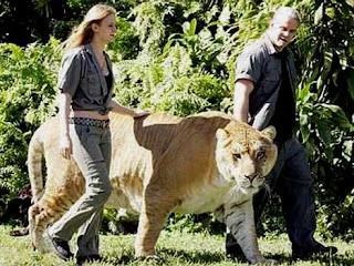Liger perkawinan silang Singa dengan Harimau