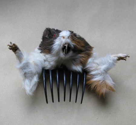 Long Haired Guinea Pigs. a scary guinea pig.