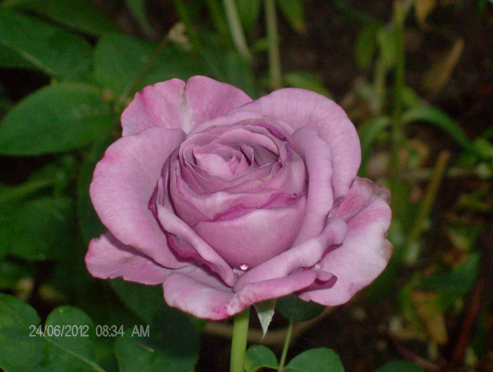 cultivo rosas jardim:rosa rosa spp é uma das flores mais populares do mundo cultivada