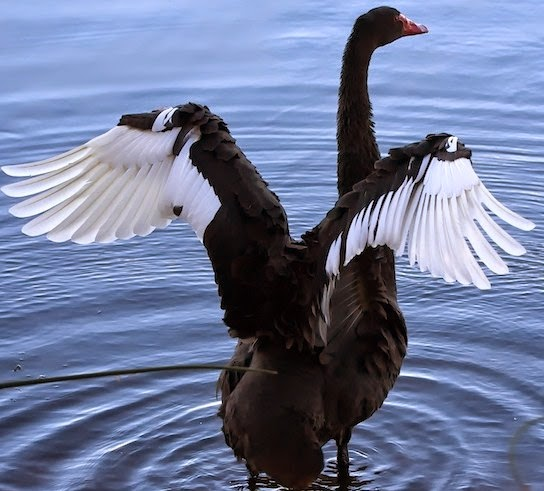 Fly with the black swan.