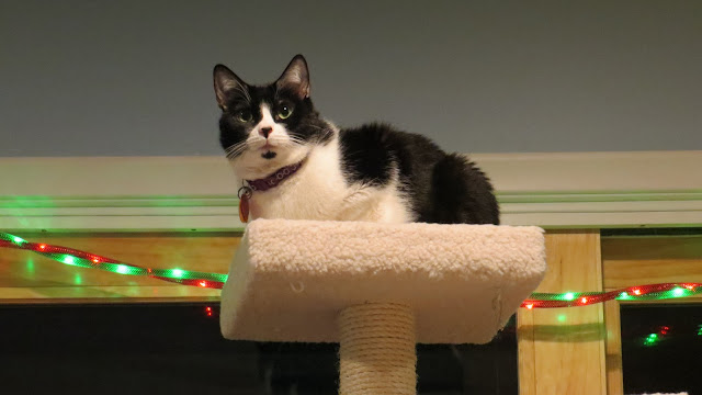Black and white cat on a cat tree