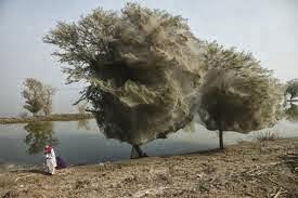 Pohon Jaring Laba-laba, Pakistan