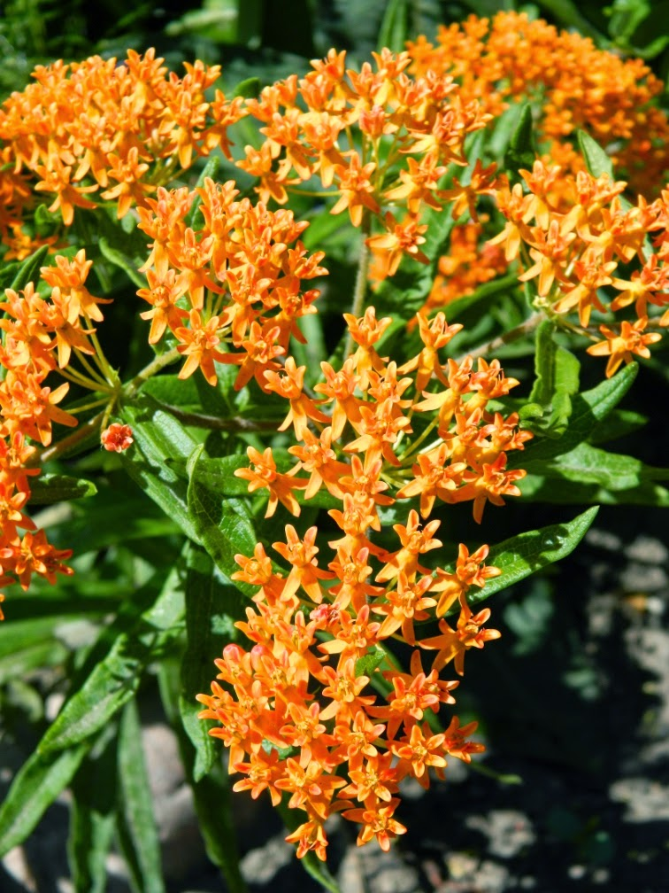 Butterfly weed Asclepias tuberosa blooms by garden muses-not another Toronto gardening blog