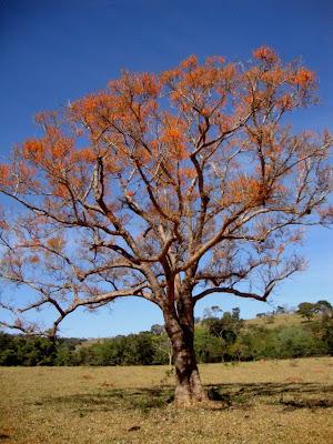 Mulungu (Erythrina mulungu) nome comum - árvore-de-coral