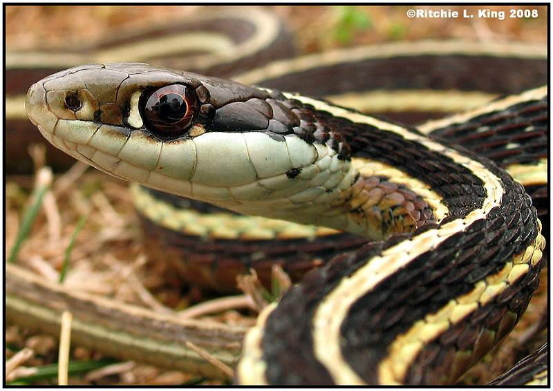 Snakes: Eastern Ribbon...