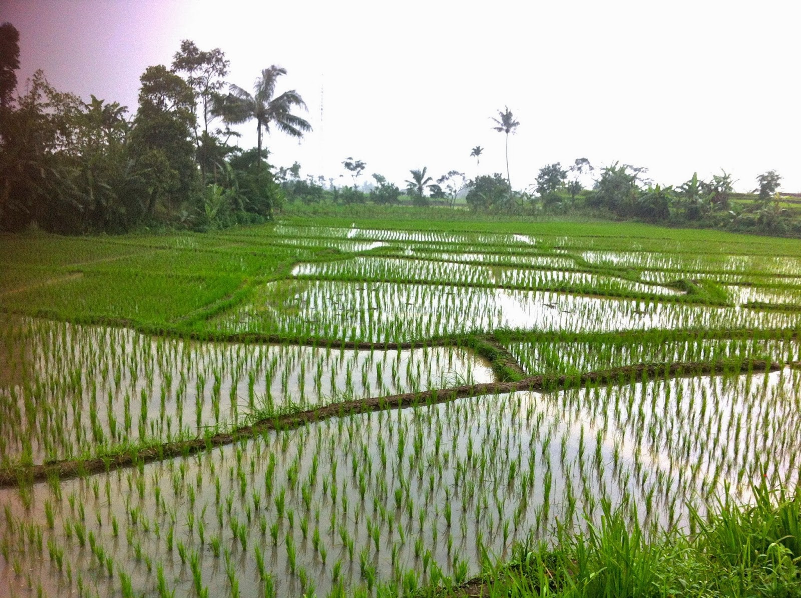 Rice fields in Cianjur, Java, Indonesia