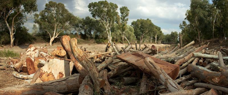 Troncos de eucaliptos talados