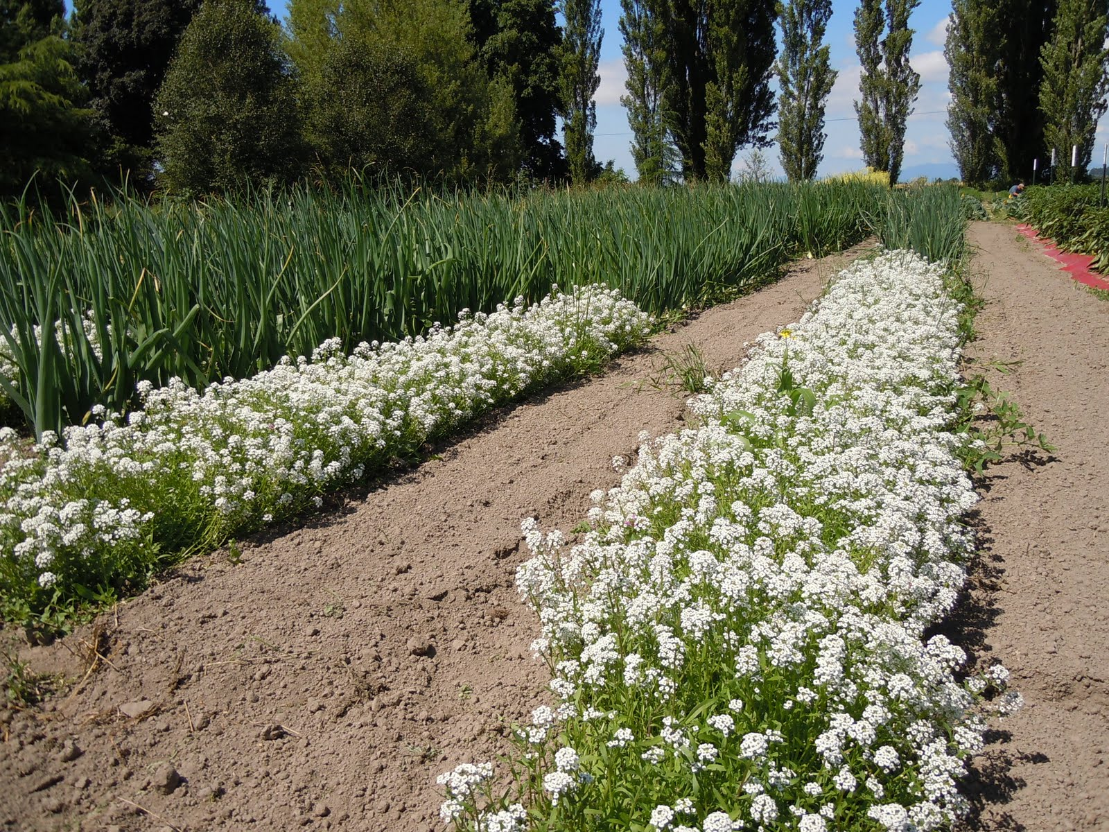 Beneficial Insect Attractants Osborne Seed Company Variety Trials