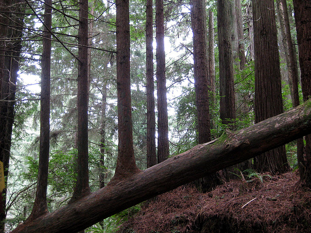 Northern California's trees of mystery