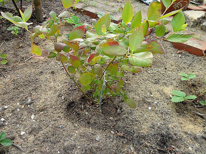 blåbærplante
