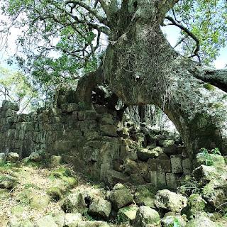 Árvore de umbu sobre as ruínas da redução jesuíta de São Lourenço Mártir.