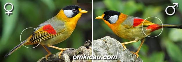 Foto Burung Panca Warna Terbaik