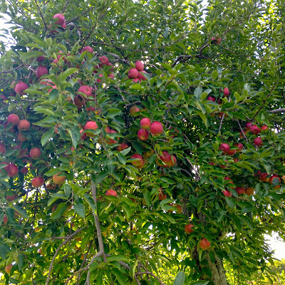 apple tree: Simple Living and Eating