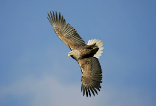 elang terbang tinggi