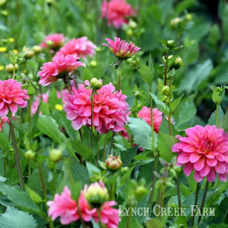 Miniature informal decorative dahlia Excentric