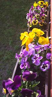 Bratki - na balkon na wiosnę