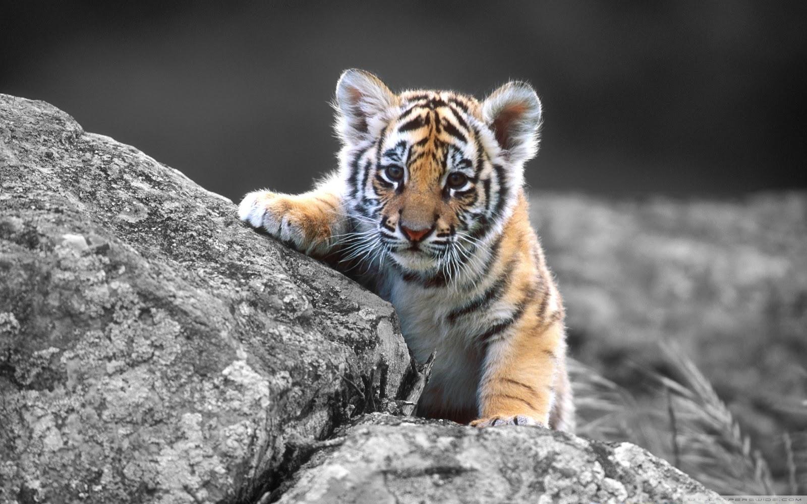http://3.bp.blogspot.com/-BrQPvWJt_g0/UDVzgYB3W5I/AAAAAAAAELE/8PA2ZimcdwM/s1600/cute+tiger+wallpaper.jpg