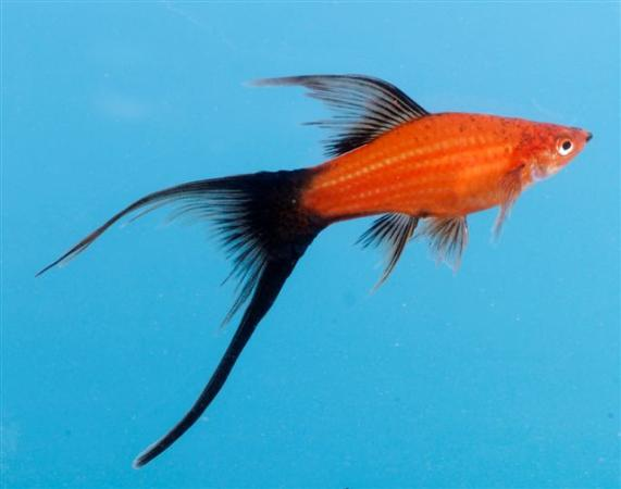 Lyretail Swordtail Related Keywords & Suggestions - Lyretail Swordtail ...