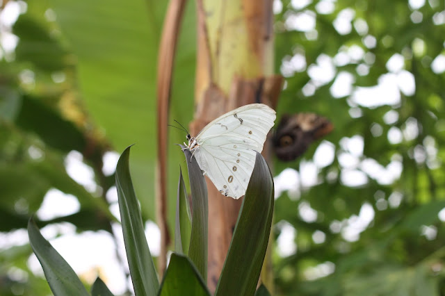 white butterfly at Wye Valley Butterfly Zoo
