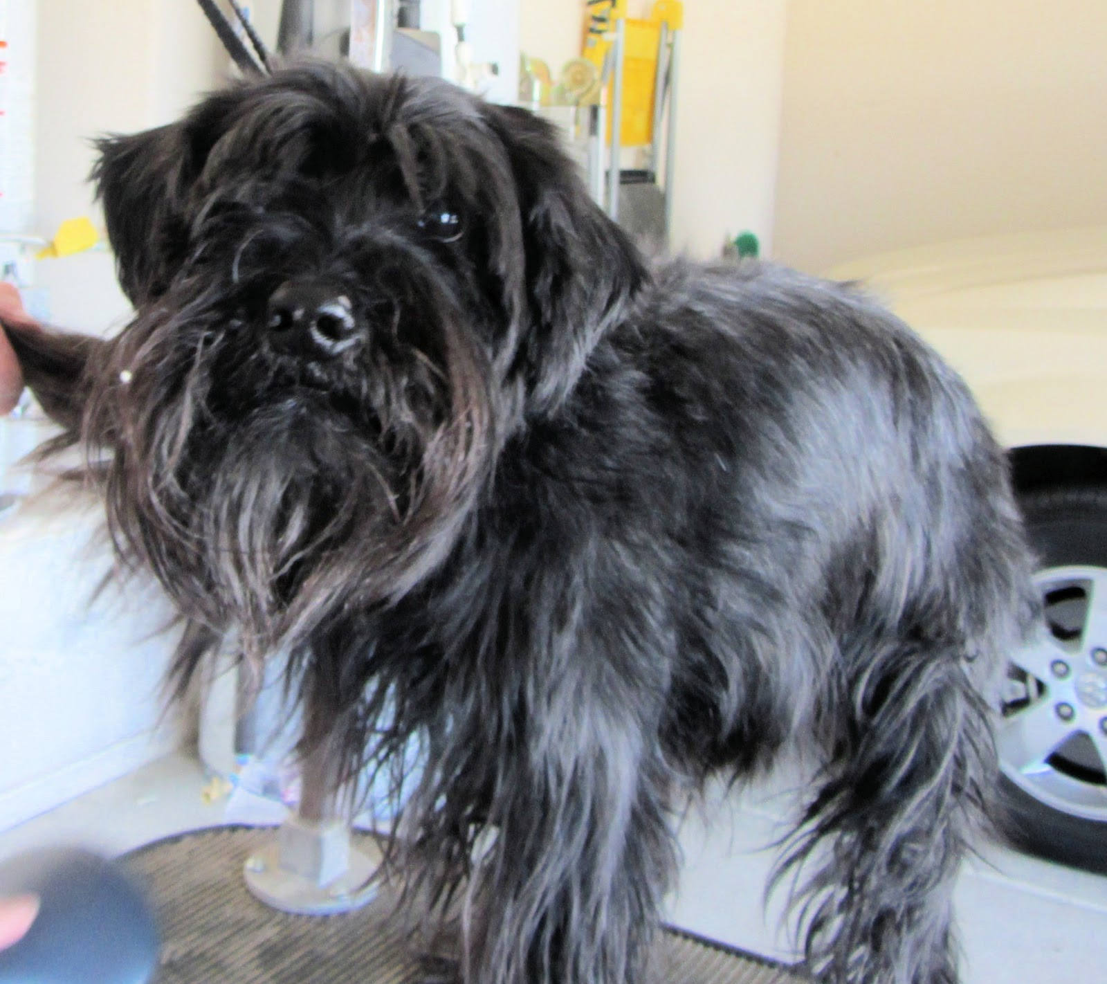 Displaying 19> Images For - Schnauzer Haircuts...
