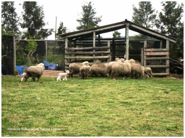 Corral de ovejas y cabras - Chacra Educativa Santa Lucía
