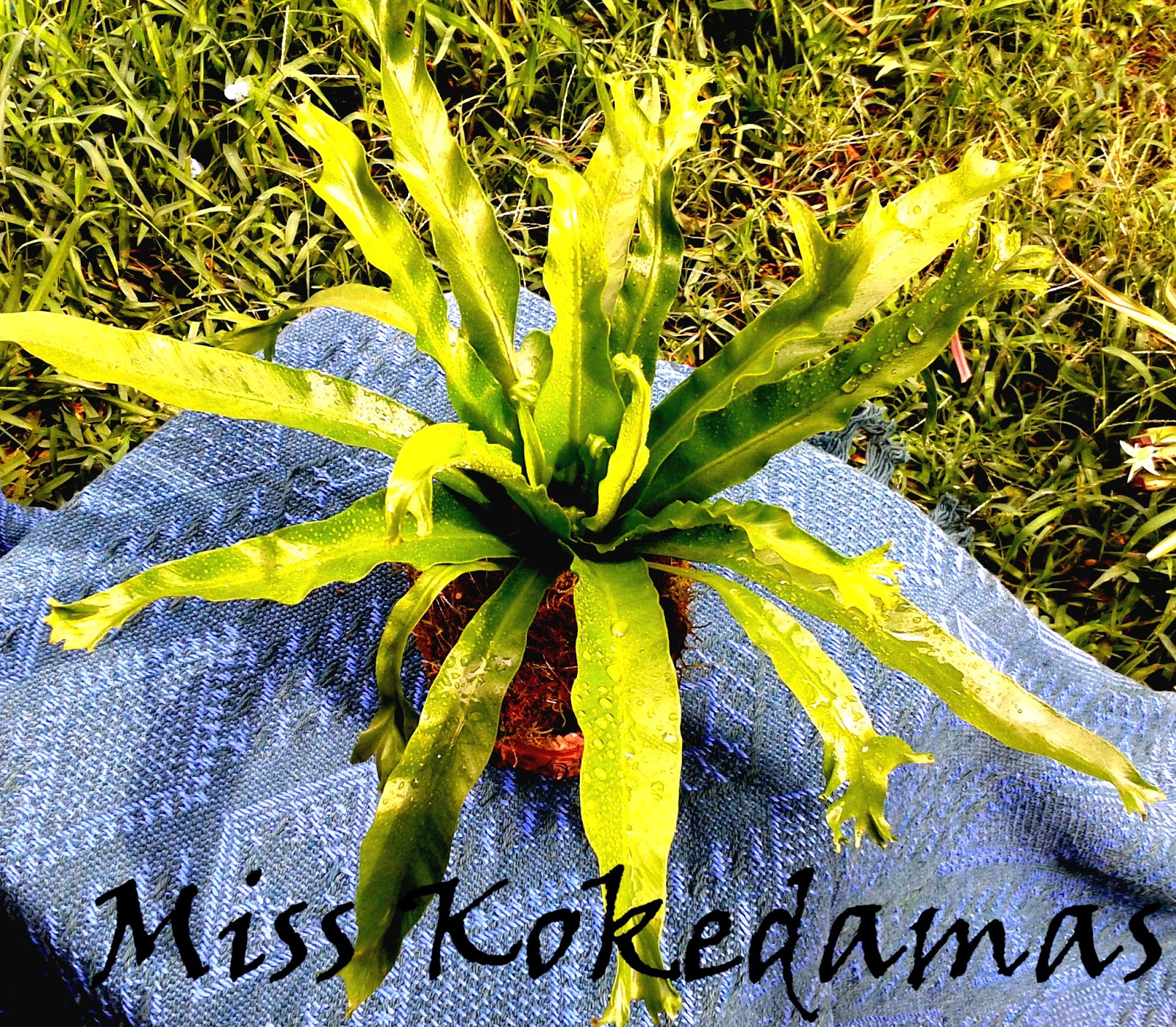 Miss kokedamas plantas decorativas de interior en macetas for Plantas decorativas resistentes