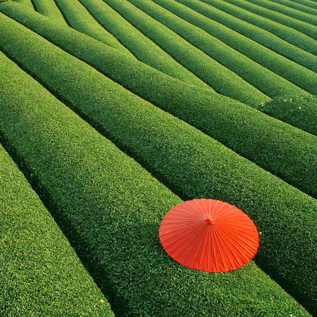 Fields of Tea, China.