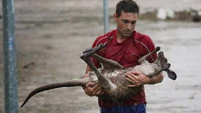Man save a drowning baby kangaroo