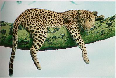 Leopardo sobre una rama