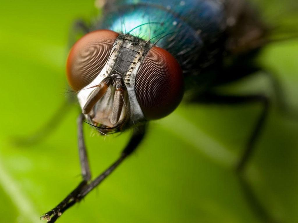 mas moscas